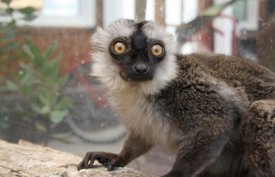 brunhoved_lemur_komm._2011_17