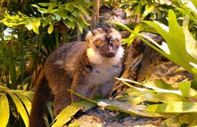 brunhoved_lemur_komm._2011_3