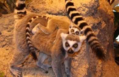 katta_lemur_4