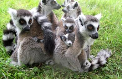 katta_lemur_63
