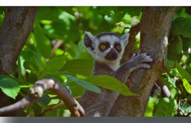 lemur_ungen1_-_kopi