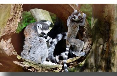 lemur_ungen_-_kopi