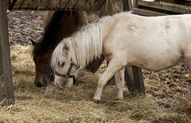 shetlands_pony_22