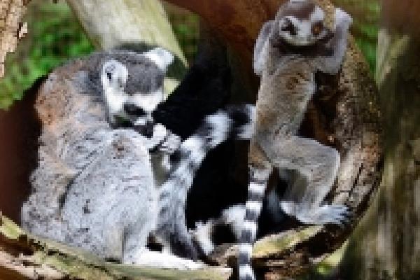 lemur_ungen_0