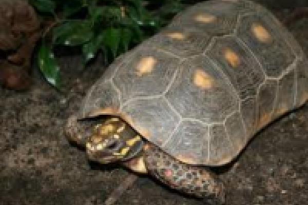 roedfodet_skovskildpadde