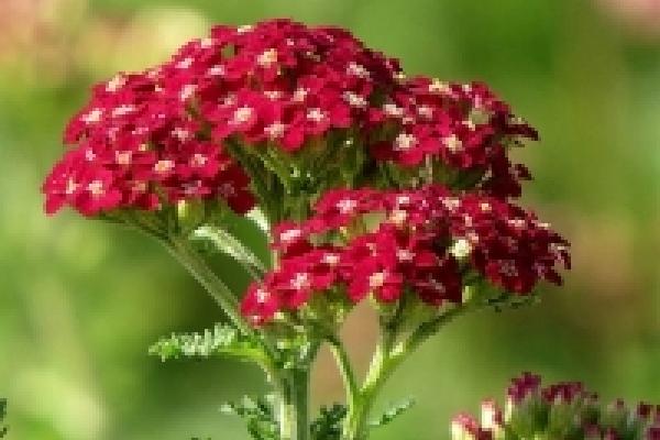 new-vintage-red-yarrow-achillea_1_0